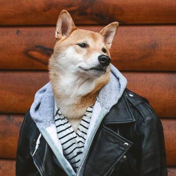 Боди — прелестный сиба-ину, носящий человеческую одежду