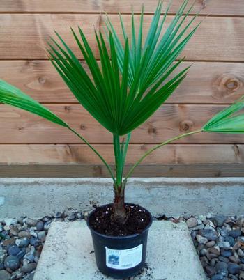 Вечнозеленая веерная пальма брахея