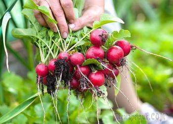 Редис на грядке или на окошке – сорта и условия для быстрого урожая