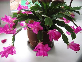 Декабрист (цветок), приметы