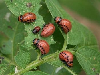 Распространенные вредители томатов — как бороться безопасными способами