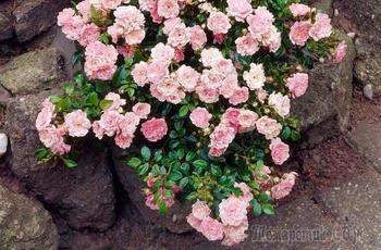 Все о почвопокровных розах: посадка, уход, обрезка, зимовка и лучшие сорта