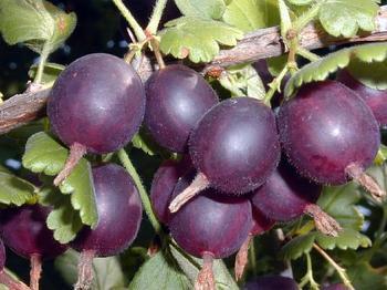 Крыжовник «Грушенька» — красивый и вкусный сорт с длительным плодоношением