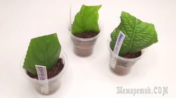 Размножение стрептокарпуса фрагментом листа