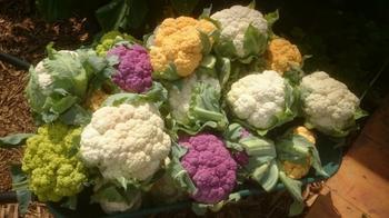 Как получить хороший урожай цветной капусты?
