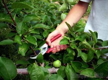 Формирование кроны яблони разными способами