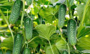 7 лайфхаков от огородников, у которых на грядках вырастают образцовые огурцы