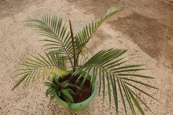 Литокариум – не совсем кокос
