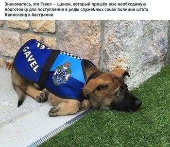 Собаку уволили из полиции за дружелюбие