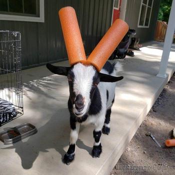15 козлят, которые плохо себя вели и им пришлось носить на рогах всякие предметы