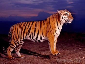 Интересные факты про тигров: загадочный мир диких животных