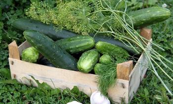 Самые урожайные сорта и гибриды огурцов для открытого грунта и теплиц с описанием