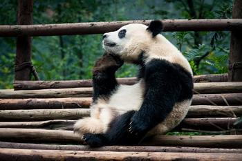 Скучающие, задумчивые и забавные панды