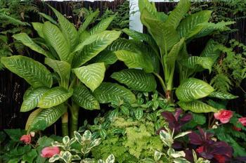 Диффенбахия — виды и классификация растения