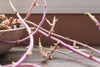 Картошка сохнет в квартире – что делать