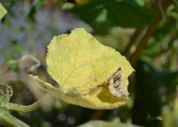 Что делать, если желтеют листья у огурцов