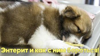 Лечение энтерита у собак. Советы ветеринарного врача.