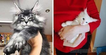 Несколько снимков с кисточками, доказывающих, что прекраснее мейн-кунов могут быть лишь котята мейн-кунов
