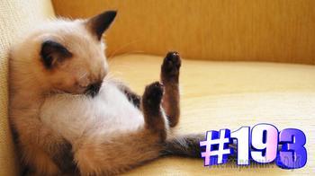 Смешные коты | Приколы с котами | Видео про котов | Котомания # 193 (видео)