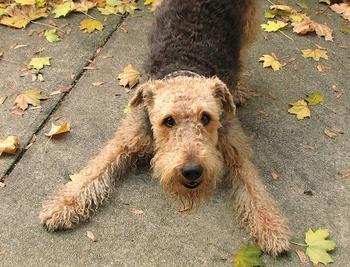 Эрдельтерьер — смешная и интересная порода собак