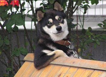 Чудесные собаки породы сиба-ину