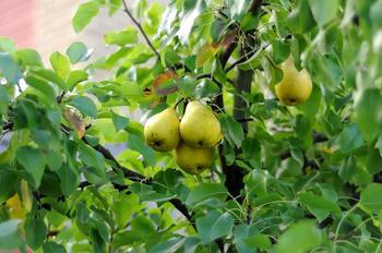 Лучшие сорта груши: для Подмосковья, северных, южных регионов
