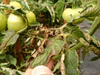Почему у помидоров желтеют и сохнут листья