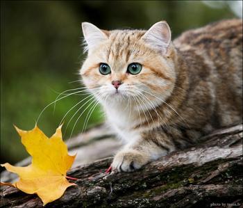 Бродит осень рыжей кошкой...