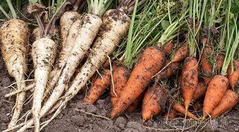 Сеялка для моркови своими руками