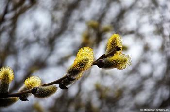 Верба - символ весны и жизни