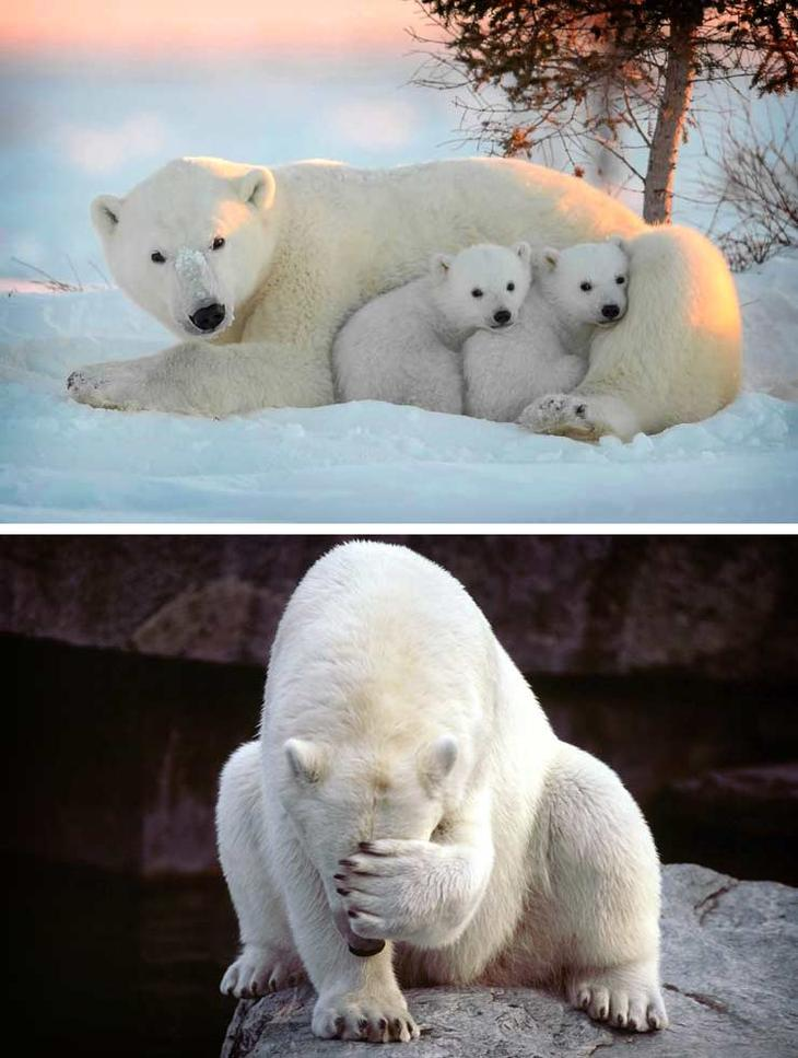 Белый медведь. Красота созданная природой. Самые красивые животные планеты. Фото с сайта NewPix.ru