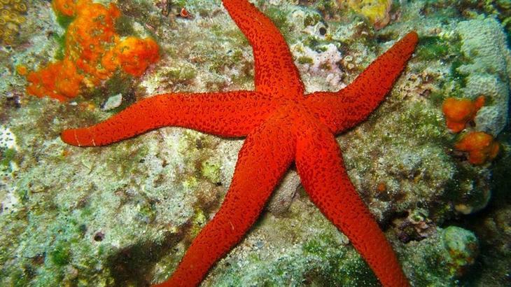 Морская звезда животные, красные животные, природа, цвет