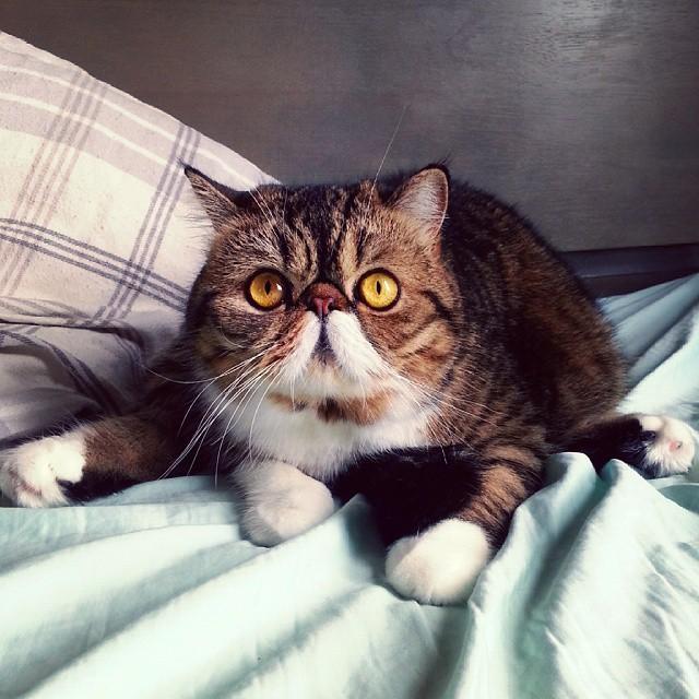 коты с приплюснутой мордой порода и фото принимают гостей