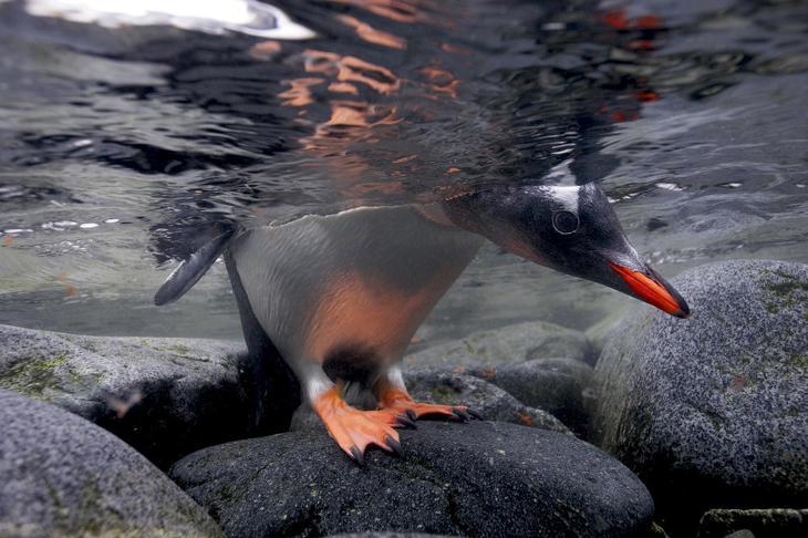 Птенец папуанского пингвина заглядывает в воду loverme