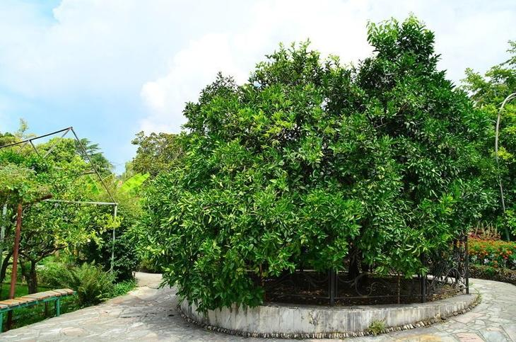Дерево назвали Деревом дружбы и вкоруг него образован сад, с еще несколькими такими же деревьями Фабрика идей, дерево-сад, интересное, растения, садоводство, факты
