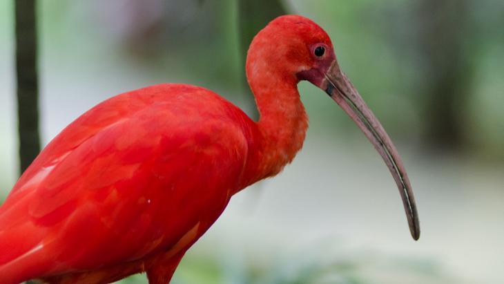 Алый ибис животные, красные животные, природа, цвет