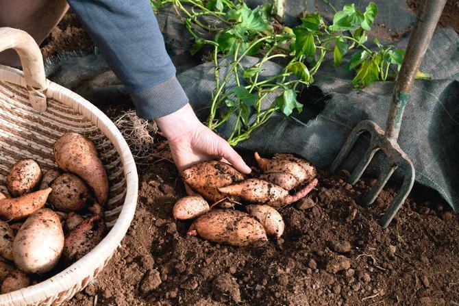 Способы выращивания батата в Средней полосе
