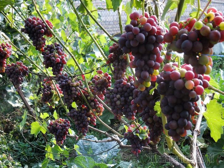 Обрезка винограда краткое пособие для новичка