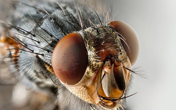 увеличенное фото мухи