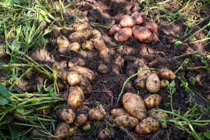Сорт картофеля лидер характеристика