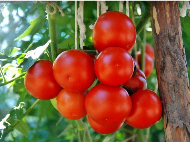 Болезни рассады томатов в домашних условиях, желтые пятна на листьях помидор