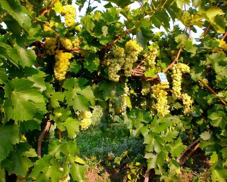 Сорт винограда роза дамская белая красная - описание сортов