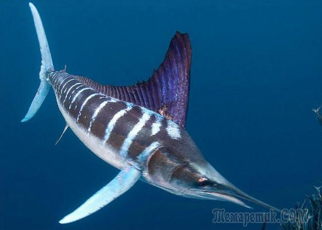 Парусник рыба. Образ жизни и среда обитания рыбы парусник || Рыба парусник скорость