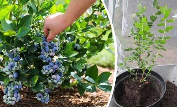 Как посадить голубику правильно весной, летом и осенью: видео советы