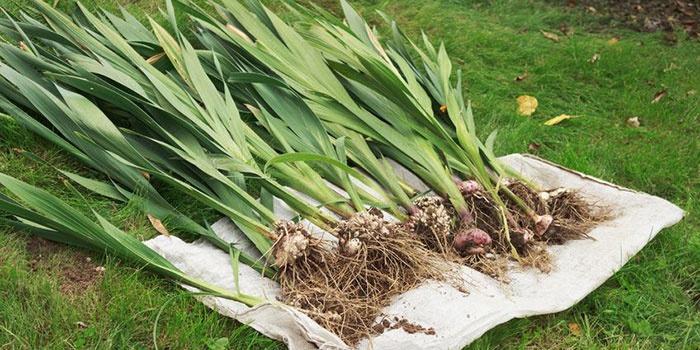 Как обрезать луковицы гладиолусов на зиму