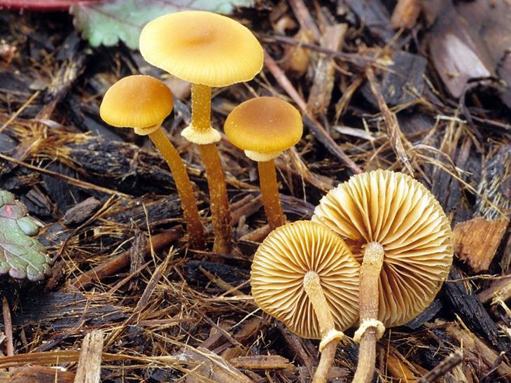 Фолиотина морщинистая. Самые опасные и ядовитые грибы. Фото с сайта NewPix.ru