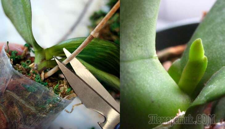 Что делать, если орхидея засохла{q} Как ее спасти{q} Почему сохнет стрела{q} Как реанимировать орхидею, если она засыхает от недостатка влаги{q}