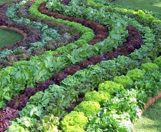 Салат через рассаду