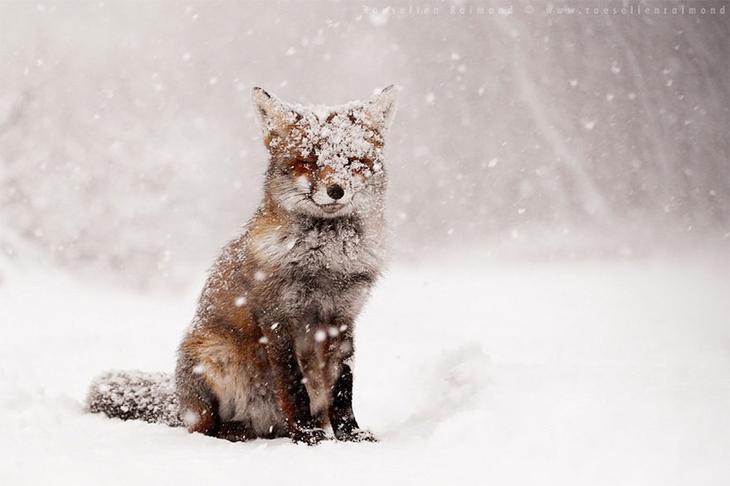 NewPix.ru - Прекрасные фото лисиц Розелин Раймонд