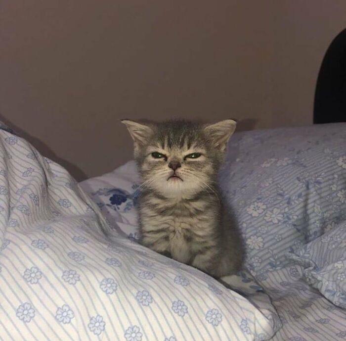Крошечные котята, про которые ласково говорят «ладошечные»